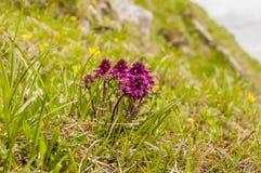 Verticillata di Pedicularis Fotografie Stock Libere da Diritti