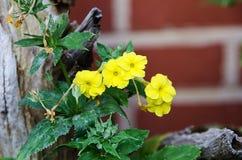 Verticillata Primula Στοκ Φωτογραφίες