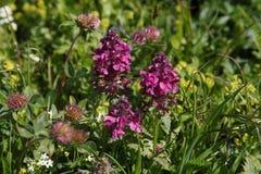 Verticillate Lousewort. (Pedicularis Verticillata) flowering Stock Images