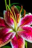 Verticle桃红色和紫色老虎Lilly关闭集中于花粉 库存图片