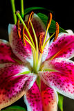 Verticle Pink and Purple Tiger Lilly close up focused on Pollen. Close up of a colorful Tiger lilly with a black background. perfect shot very sharp and colorful stock image