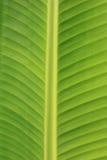 vertikal bananbladtextur Arkivbilder