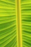 vertikal bananbladtextur Royaltyfri Fotografi