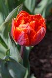 Vertikal orange tulpan Arkivfoto