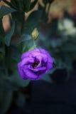 Vertikal purpurfärgad Lisianthus blomma Arkivfoton