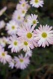Vertikal rosa tusensköna Arkivbild