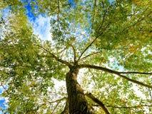 Vertikal sikt av det högväxta trädet med ljust - gröna sidor och blå himmel royaltyfri fotografi
