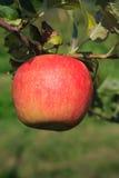 Vertikala röda mogna Apple i träd Arkivbild