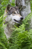 Vertikala Wolf Portrait i gröna ormbunkar royaltyfria bilder
