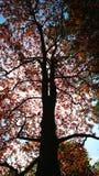 Vertikale Ansicht eines Baums mit einem dunkelbraunen Stamm und hellen Blätter und ein Sonnenschein durch die Niederlassungen Lizenzfreie Stockfotos