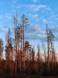 Vertikale Ansicht von den Kiefernstämmen, die bei Sonnenuntergang rot glühen lizenzfreies stockbild
