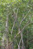 Vertikale ausgewichene Trägheit des Bild-drei, die in den Dschungel-Bäumen hängt Lizenzfreie Stockbilder