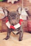 Vertikale der französischen Bulldogge Weihnachts Stockbild