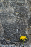Vertikale Feld Löwenzahn in einem Steinblock Lizenzfreie Stockfotos