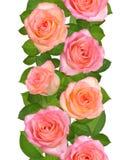 Vertikale nahtlose Grenze mit rosa Rosen Lokalisiert auf Weißrückseite Lizenzfreie Stockbilder