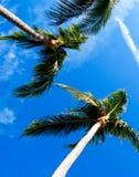 Vertikale Palmen Stockfoto