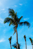 Vertikale Palmen Stockfotos