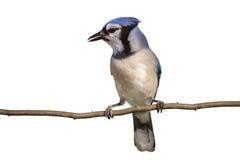 Vertikale in voller Länge Ansicht des Blauhähers auf einem Zweig Lizenzfreies Stockfoto