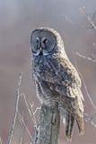 Vertikale von großem Gray Owl, Strix nebulosa Stockfoto