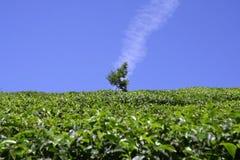 Vertikale Wolke über Baum in der Teeplantage Lizenzfreies Stockfoto
