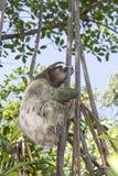 Vertikalen-nahe hohe wilde Trägheits-kletternder Baum Lizenzfreies Stockfoto