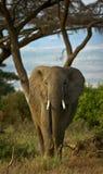 Vertikaler afrikanischer Elefant Lizenzfreies Stockbild