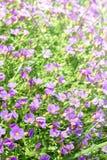 Vertikaler Blumenhintergrund mit kleinem violettem Aubrieta blüht Stockfotografie