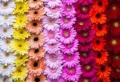 Vertikaler Gerberablumen-Regenbogenhintergrund Stockfoto