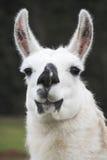 Vertikaler Lama-Kopf und Gesicht Stockfotos