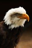 Vertikaler Schuß des kahlen Adlers stockbild