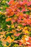 vertikales Ahornblatt, das in den Gelbs und in der Orange gruppiert stockfotografie
