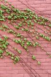 Vertikales Bild der rosa Backsteinmauer mit dem üppigen grünen Efeu, der über dem Gesicht von ihm schleppt Stockfoto