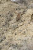 Vertikales Bild des Berglöwen laufend hinunter Berg Stockbild