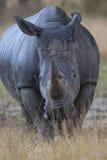 Vertikales Bild des großen afrikanischen Nashorns Stockfoto