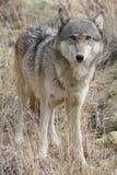 Vertikales Bild des weiblichen Timberwolfs Lizenzfreie Stockfotografie