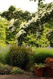 Vertikales Foto des Hartriegels blühender Baum und Pflanzer stockbild