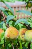 Vertikales Foto des Pfirsiches auf einem Baum mit einem braunen Zaun Lizenzfreies Stockbild