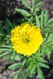 Vertikales Foto einer Nahaufnahmeblumenringelblume lizenzfreie stockfotografie