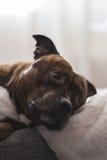 Vertikales Foto von Staffordshire-Bullterrier liegend auf Sofa looki Stockfotografie