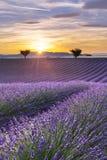 Vertikales Panorama eines Lavendelfeldes bei Sonnenuntergang Lizenzfreie Stockfotos