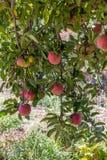 Vertikalt format, naturlig organisk mogen röd släktklenod som är läcker av organiska äpplen på filialer i ett äppleträd, sund veg Royaltyfri Bild