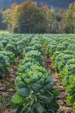 Vertikalt foto av Brussel - groddar i fält Royaltyfri Fotografi