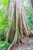 Vertikalt foto av ett gammalt träd i en rainforest Royaltyfri Bild