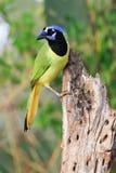 Vertikalt fotografi av den färgrika gröna nötskrikan fotografering för bildbyråer