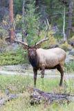 Vertikalt fotografi av den stora tjurälgen arkivfoton