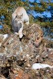 Vertikalt fotografi av norden - amerikansk lodjur Arkivfoton