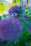 Vertikalt slut upp Allium Pom Pom i trädgårdsuddighetsbakgrund arkivbilder