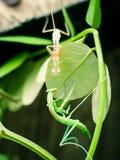 Vertimiento de la mantis religiosa Imagen de archivo libre de regalías