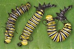 Vertimiento de la oruga del monarca Imágenes de archivo libres de regalías