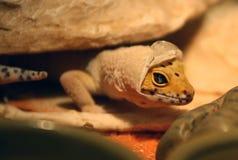 Vertimiento del Gecko Fotografía de archivo